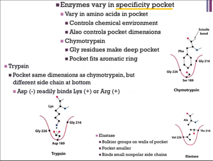 Enzymes vary in specificity pocket Vary in amino acids in pocket Controls chemical environment Scissile bond Also controls po