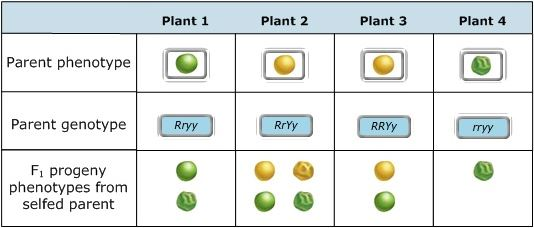 Plant 1 Plant 2 Plant 3 Plant 4 Parent phenotypeO Parent genotype Rryy RRYy rVy Fi progeny phenotypes from selfed parent